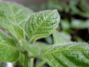 Capsicum Pubescens