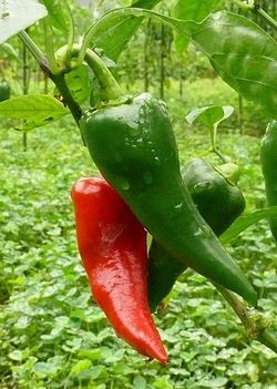 Scoville Rating (0-10): 5