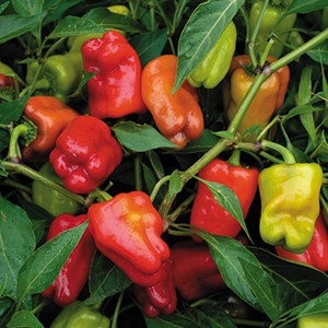 Chilli Pepper - Cajun Belle