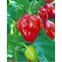 Habanero Caribbean Red